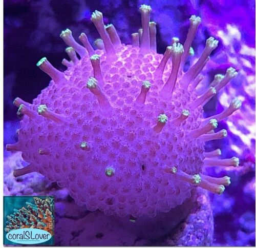 """live coral Neon Green Stalks Pink Body Toadstool Leather """"coralSLover"""""""