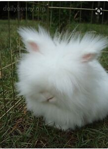 Purebred English angora - 1 left! - litter trained Bicton Melville Area Preview