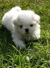 MALTESE / SHIH TZU  PUPPY. Clarendon Vale Clarence Area Preview
