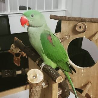 LOST ALEXANDRINE PARROT ESCAPED FROM STAFFORD - 31/01/2016