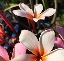 Frangipani Trees from $10. 1 Pink and 6 Whites Left Bull Creek Melville Area Preview