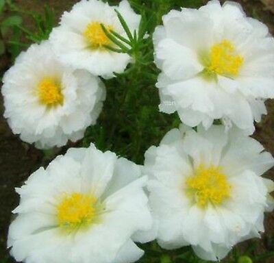 Bargain Center - White & Yellow Center Mexican-Rose Sun Plant 80 Seeds -BUY 4 ITEMS FREE SHIP