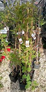 Pianta di kiwi autofertile jenny in vaso alt cm 140 150 for Kiwi pianta