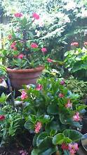 Plants for Sale Lurnea Liverpool Area Preview