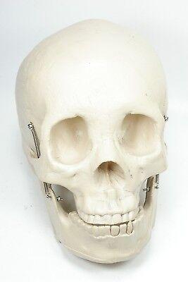 Human Skull Model Medical Skeleton Anatomy Replica Nice