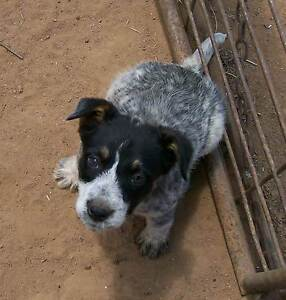 Whiskery cattle pup for sale Baradine Warrumbungle Area Preview