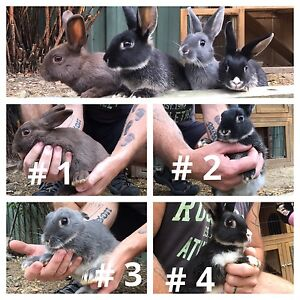 Female rabbits for sale - 12 weeks old - Greensborough Greensborough Banyule Area Preview