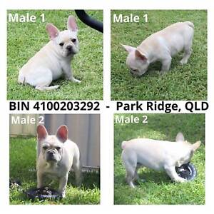 French Bulldog Puppies Cream Blue DNA Pedigree Registered