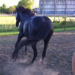 7 year old Grade QH