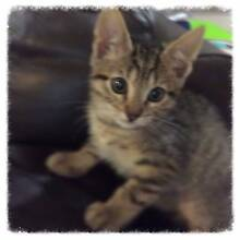 Super Cute & Cuddly Female Tabby Kitten for Adoption Bonogin Gold Coast South Preview