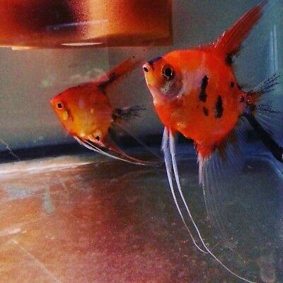 Angel Fish 6 High Coverage Koi Orange Angelfish (freshwater tropical fish)