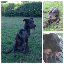 Great Dane X Amstaff Muswellbrook Muswellbrook Area Preview