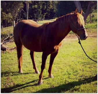 Rocky the Quarter Horse Gympie Area Preview