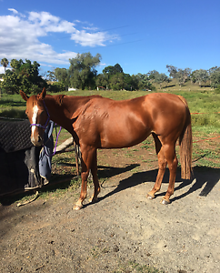 Beautiful Chestnut TB 15.3Hh Toowoomba Toowoomba City Preview