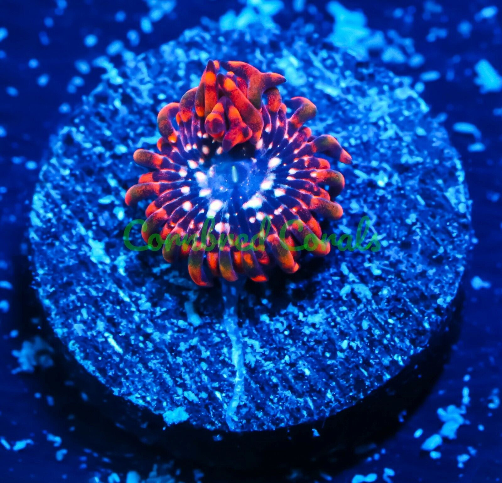 Cornbred s Pink Utter Chaos Paly - Frag - LIVE CORAL - $39.99