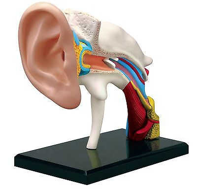 4D Human EAR Drum Canal Body Anatomy 3D Puzzle Model science Medical NEW