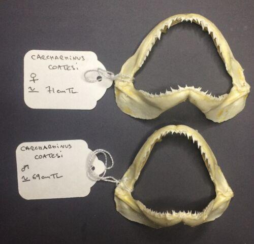SHARK JAWS TAXIDERMY TEETH TOOTH