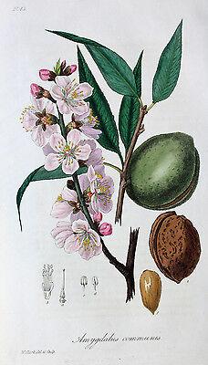 Amygdalus Communis Mandelbaum Almond Steinfrucht Rosengewächs Mandel Nuss Nut