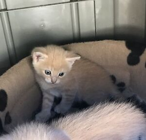 3 x female light brown kittens Greenvale Hume Area Preview