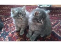 3/4 Maine Coon kittens