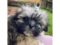 4 months old male SHIH TZU