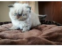 Himalayan Colourpoin Kittens For Sale!