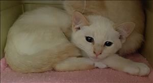 "Baby Male Cat - Siamese-Domestic Short Hair: ""Norris"""