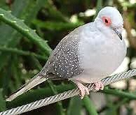 1 proven adult male Diamond  Dove