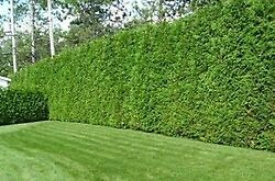 Cedar Hedge Trimming Cornwall Ontario image 5