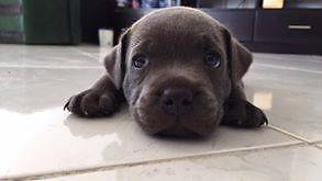 Staffordshire Bull Terrier Puppies Purebred English Geraldton Geraldton City Preview