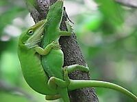 Anole Lizards