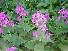 10 honesty seeds (Lunaria)   Grow in part shade Oak Flats Shellharbour Area Preview