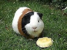 Wanted: Guinea pig hutch and accessories