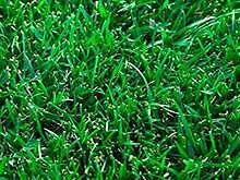 Instant Lawn - Rhizomatous Tall Fescue Grass West Hindmarsh Charles Sturt Area Preview