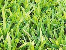 Instant Lawn - Sir Walter DNA Certified West Hindmarsh Charles Sturt Area Preview