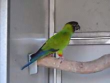 Nanday Conure Lockyer Waters Lockyer Valley Preview