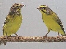 Green Singer Finches Ramsgate Rockdale Area Preview