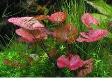 red tiger lotus aquarium plant Perth CBD Perth City Preview