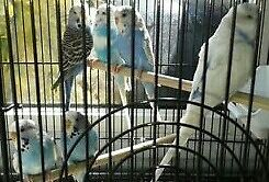 7 budgies unsexed