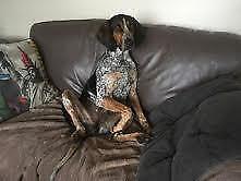 "Adult Male Dog - Bluetick Coonhound: ""Blue"""