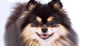 I LOOKING FOR POMERANIAN AROUND 10lbs POUNDS