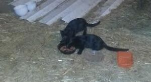 FREE 2 Beautiful Black Kittens Looking For Home!