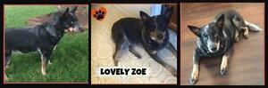 """Senior Female Dog - Cattle Dog: """"Zoe"""""""