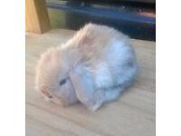 Beautiful baby lop rabbit