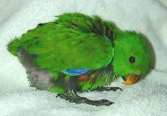 Eclectus Parrot Male or Female Narwee Canterbury Area Preview