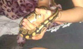 Bonjour je vend Mon python negotiable  Gatineau Ottawa / Gatineau Area image 3