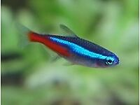 Free neon tetra too loving home