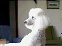 Sadly rehoming my loving white miniture poodle