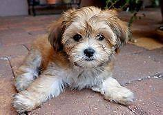 LOOKING FOR  HAVANESE X POODLE PUPPY Sydney City Inner Sydney Preview