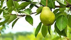 Pear Trees Place Ltd